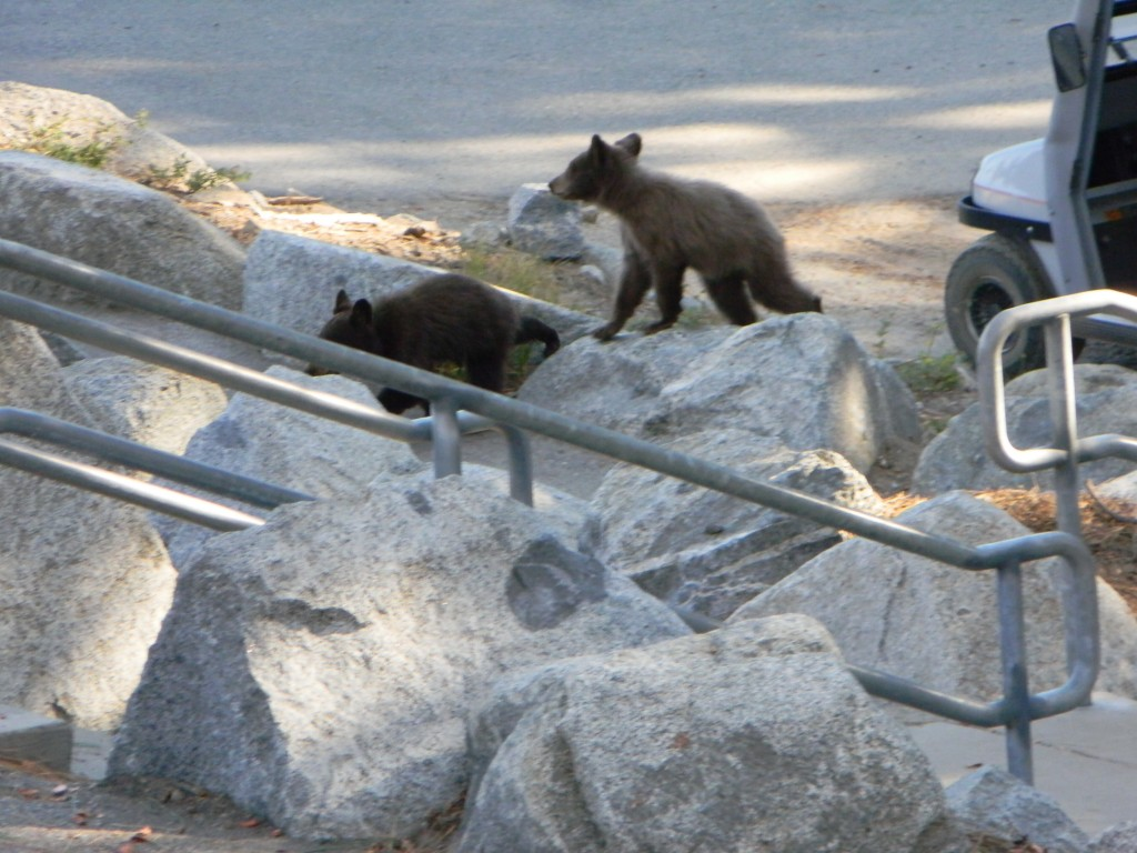Bear cubs at Yosemite National Park